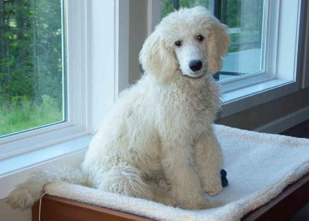 Standard Poodle Information | CNR Farms