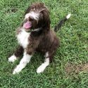 Snickers-F1 Labradoodle Female