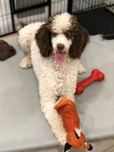 male adult labradoodle