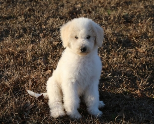 Luke Skywalker-F1b Labradoodle-$2000