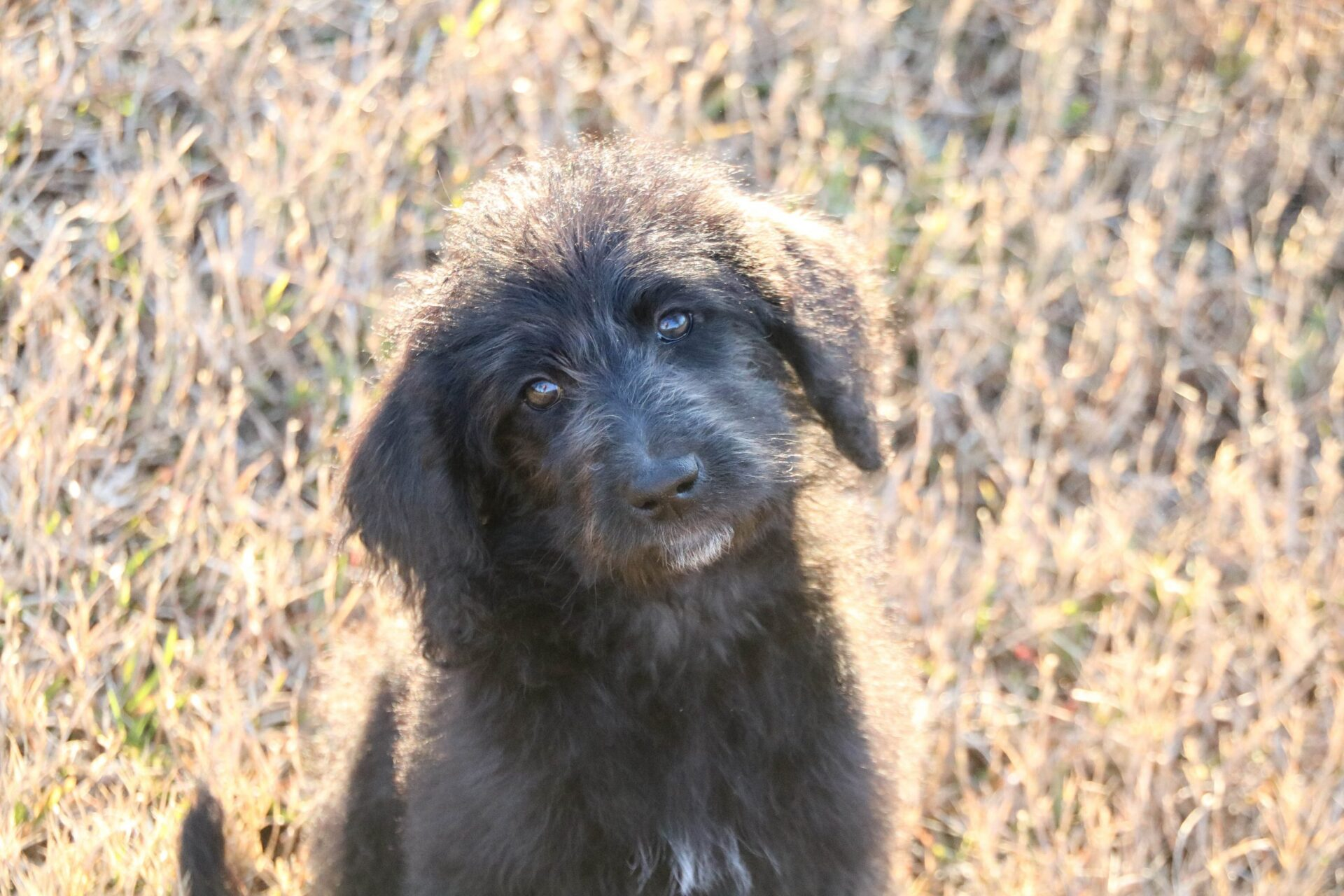 Rose Tico-F1b Labradoodle-Female-$1800