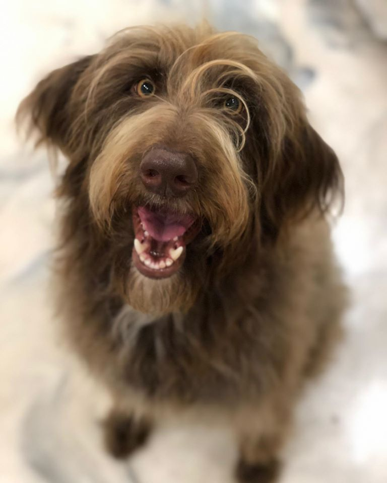 Labradoodles for Adoption Savannah GA
