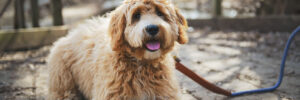 How to Potty Train Your Labradoodle Puppy
