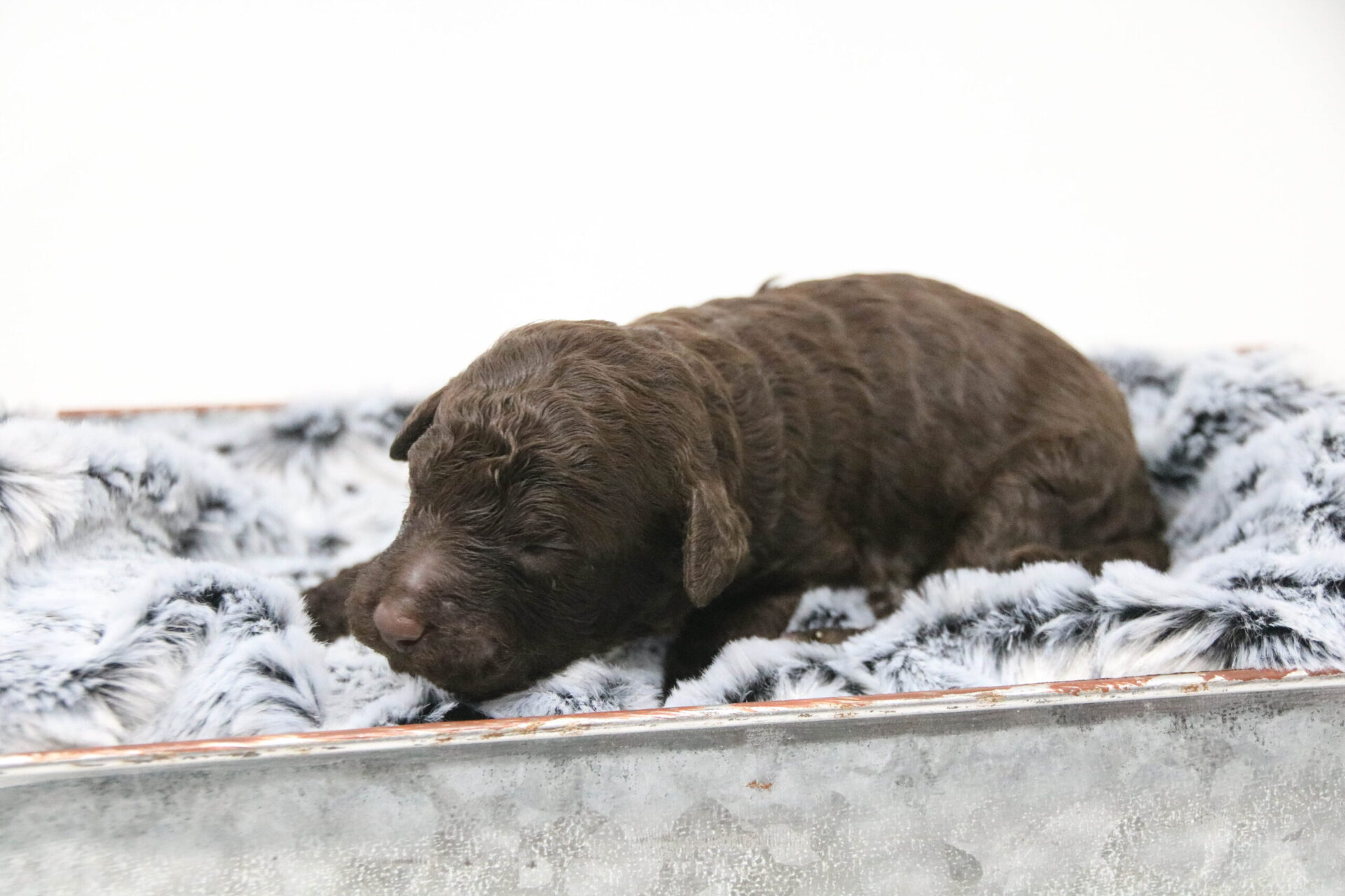 Polly-Female-Chocolate-Reserved