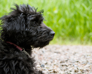 What You Should Know Before Adopting a Labradoodle Puppy
