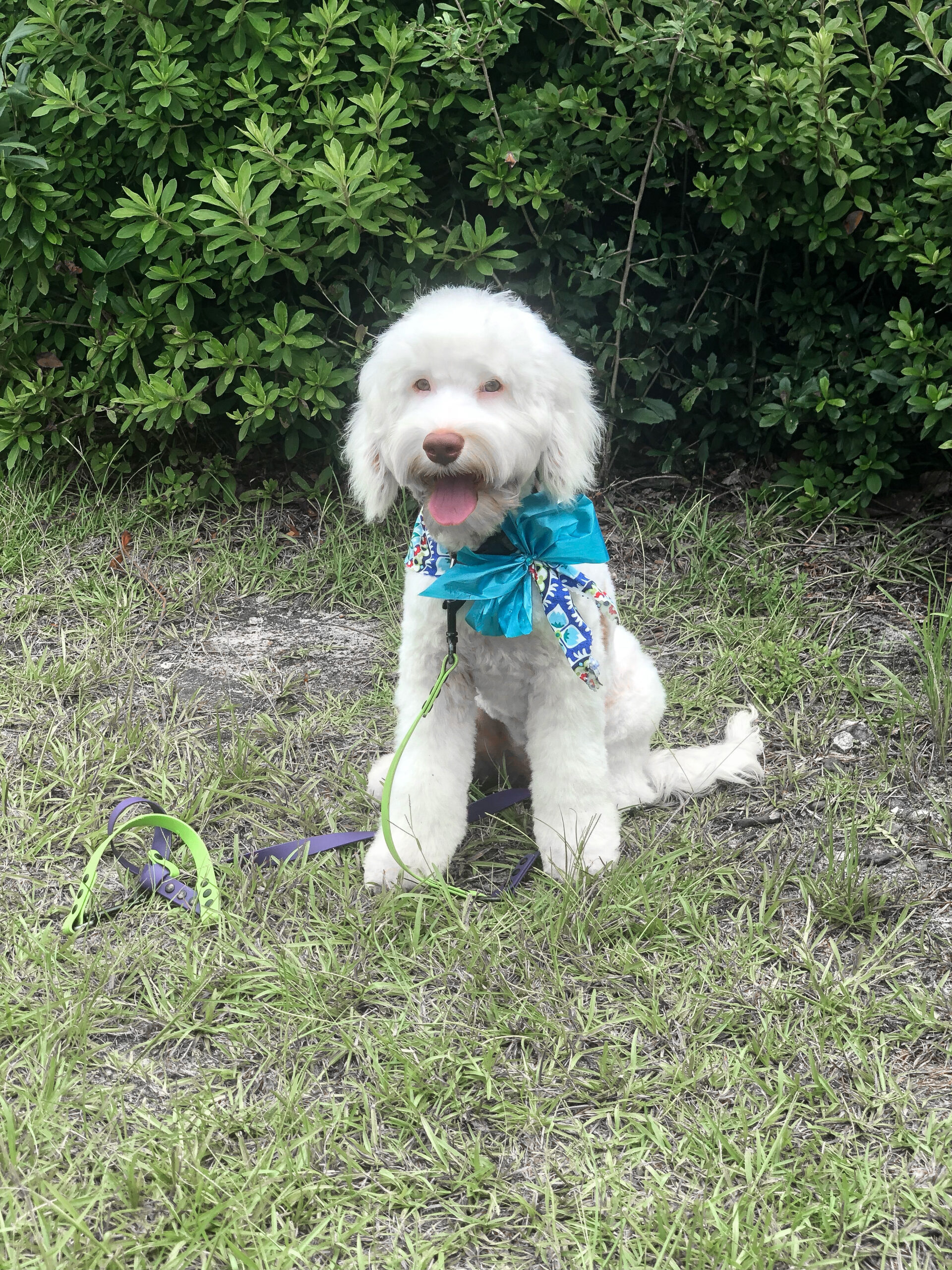 Angel-Trained Puppy-$8500