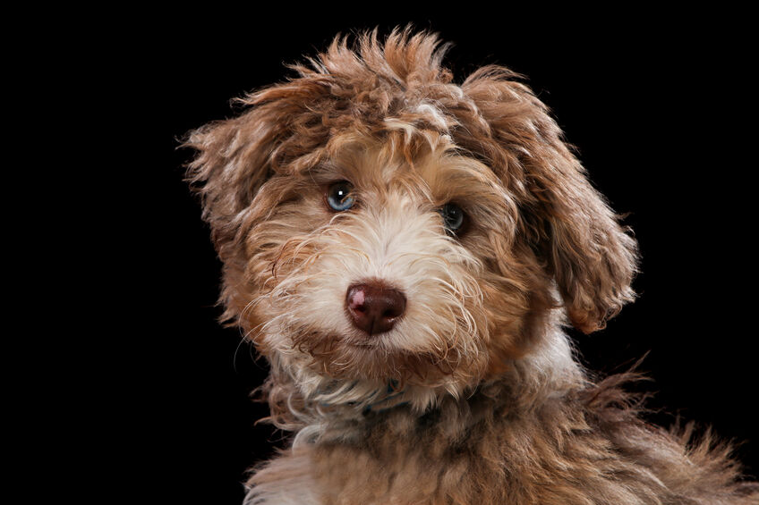 The Different Labradoodle Coat Types